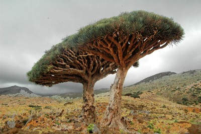 alberi sangue di drago