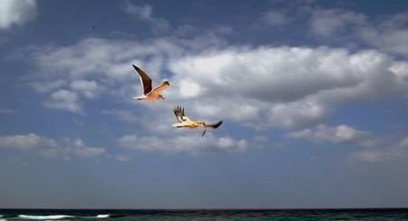 avvoltoi egiziani